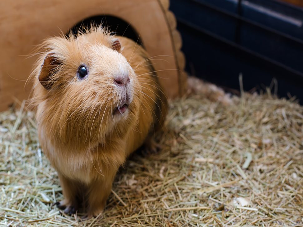 Cute Little Guinea Pig | Five Reasons Rodents Make Wonderful Pets | Samford Pet Resort