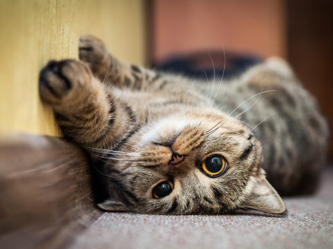 Cat Inside - Why It Is So Important When You Aren't Home | Samford Pet