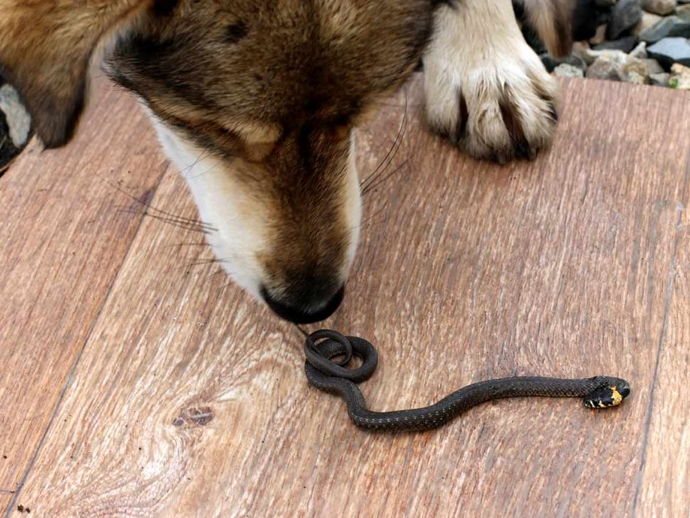 Snakes in backyard harm pets