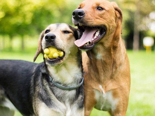 How to socialise your adult dog | Samford Pet Resort | Dog Accommodation Brisbane