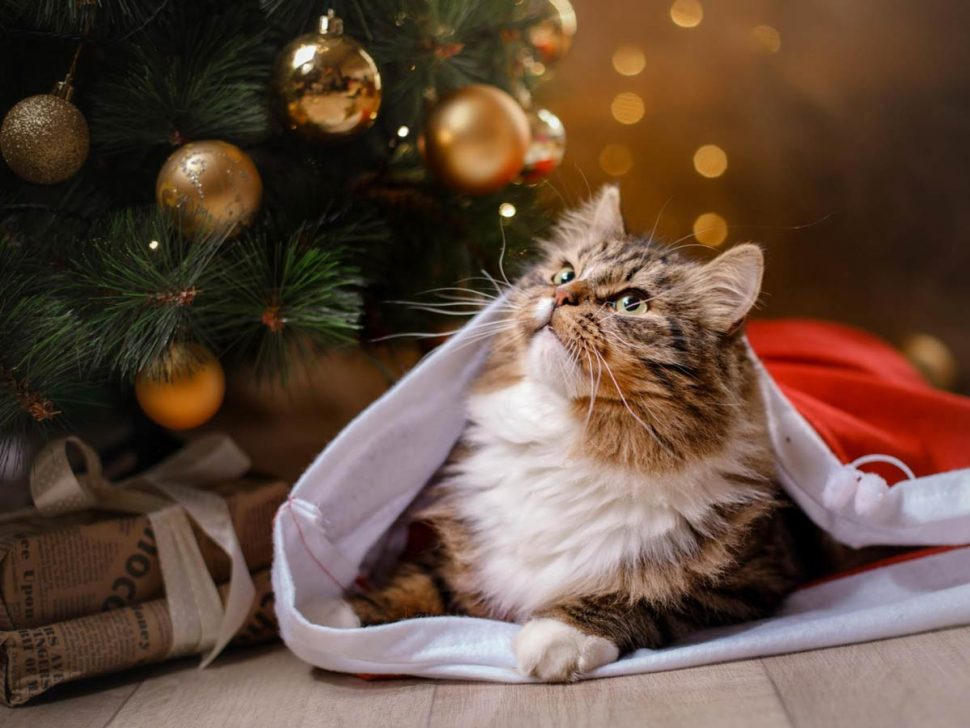 Remember that a lot of human food found on the Christmas dinner table isn't safe for pets! Keep your pet happy and calm during large Christmas gatherings by booking them into Samford Pet Resort.