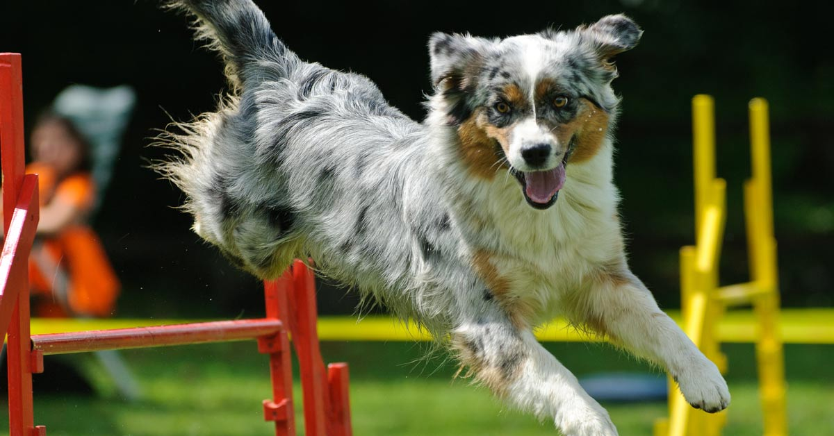 Dog agility at the Samford Show 2019