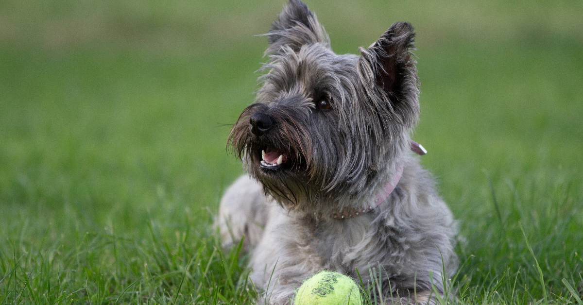 """alt=""""terrier dogs rests with its toy ball"""""""